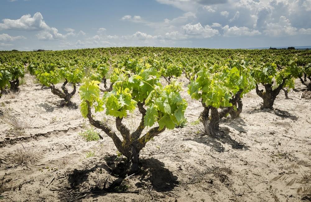grapes on the vine in ribera del duero